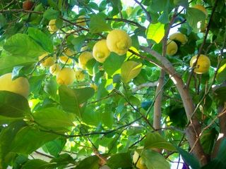 1-16 lemons