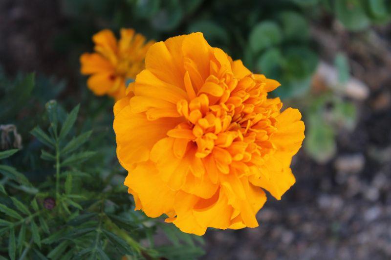 Marigold RAW