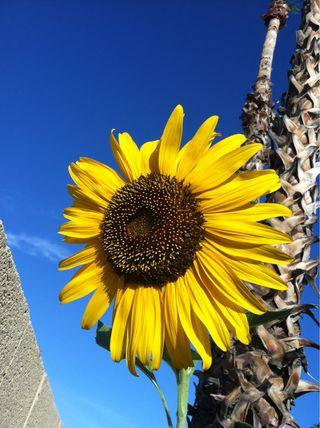 Sun flower 1