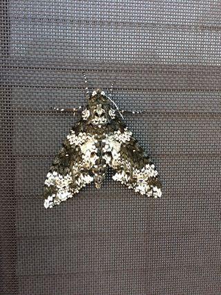 Mothbutterfly
