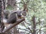 Hungry_squirrell